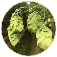 Photo of hops as an icon to click through to our hop pages
